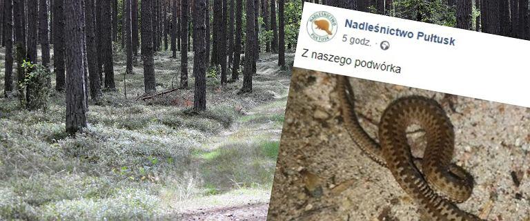Dwugłowa żmija w lesie nieopodal Pułtuska.