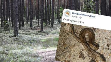 Dwugłowa żmija w Nadleśnictwie Pułtusk