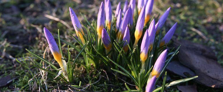 Krokusy zakwitły w kilku miastach Polski - znak nadchodzącej wiosny