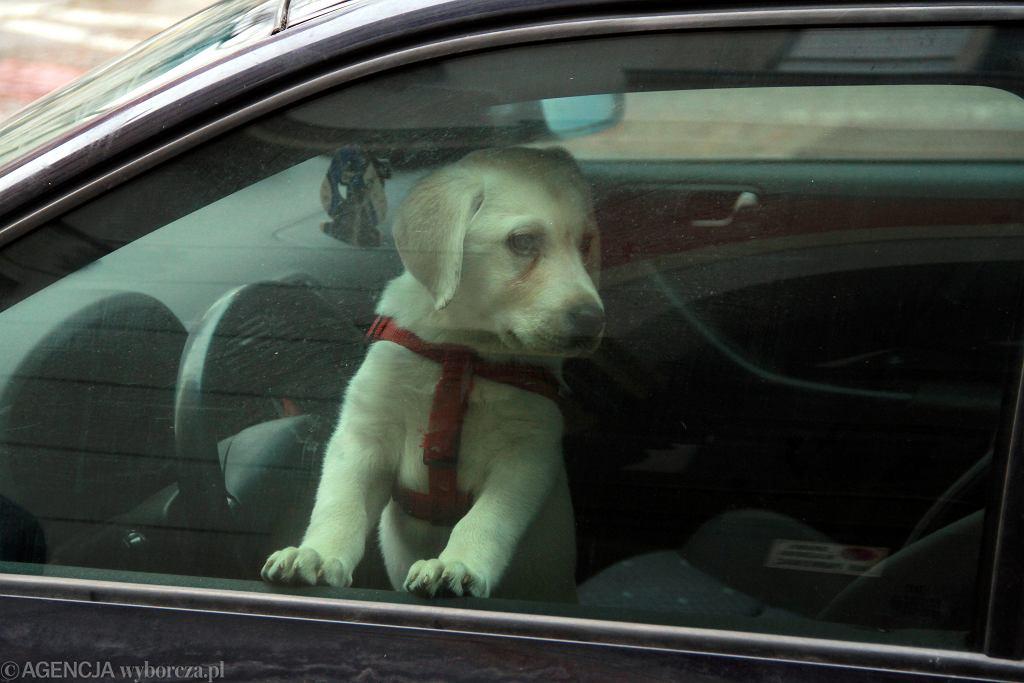 Pies zamknięty w samochodzie (zdjęcie ilustracyjne)