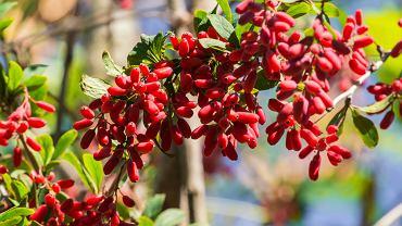 Berberyna to substancja pozyskiwana z liści, owoców, kory oraz korzenia krzewu zwanego berberysem, którego można spotkać praktycznie w całej Polsce