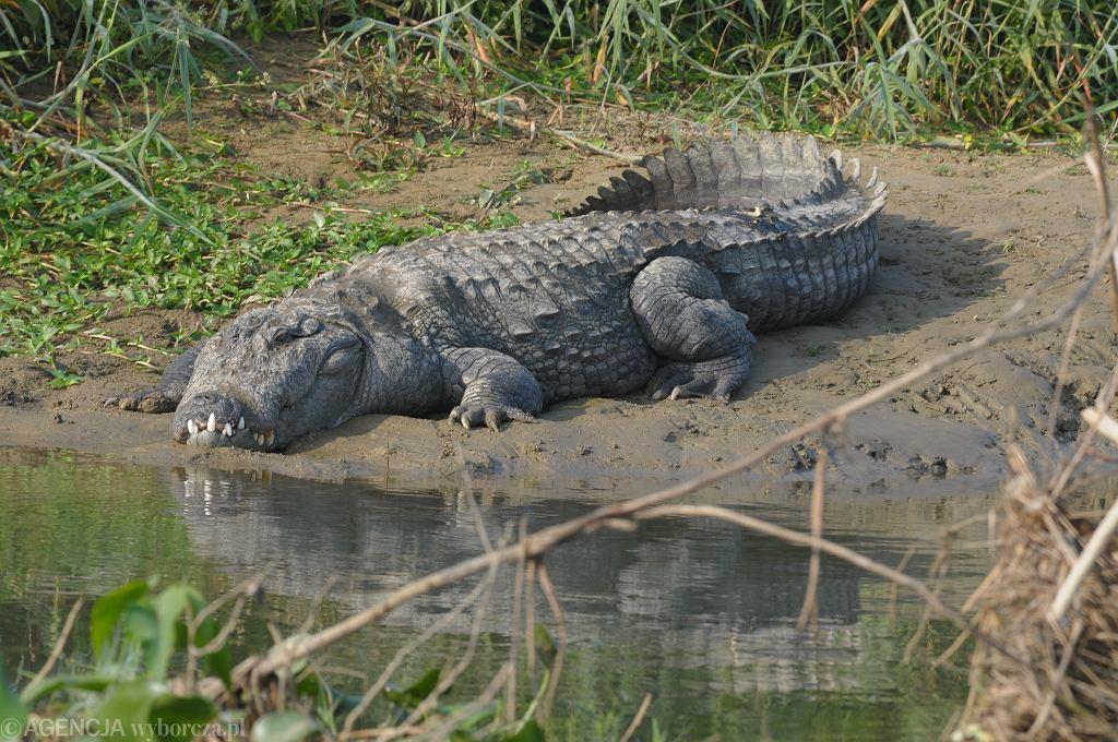 Krokodyl - zdjęcie ilustracyjne