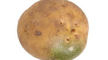 Surowy ziemniak z zieloną skórą