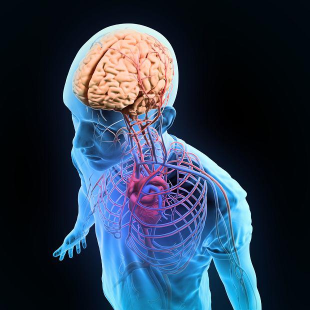 Most w mózgu - budowa, funkcje, zaburzenia funkcjonowania