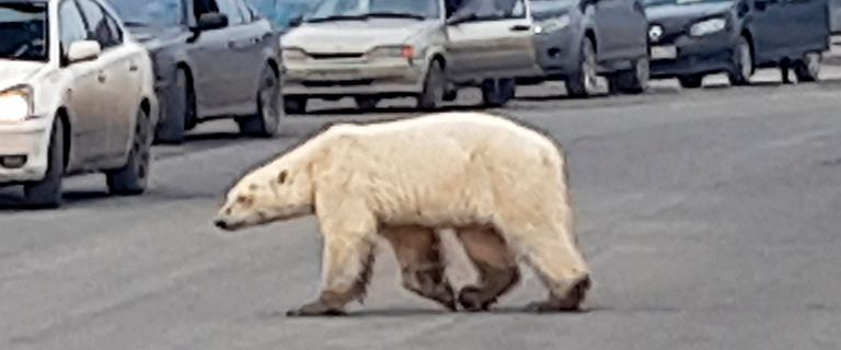 1500 kilometrów po jedzenie. Polarna niedźwiedzica dotarła do Norylska