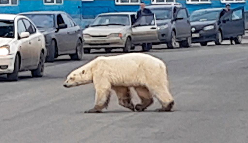 Niedźwiedzica w Norylsku