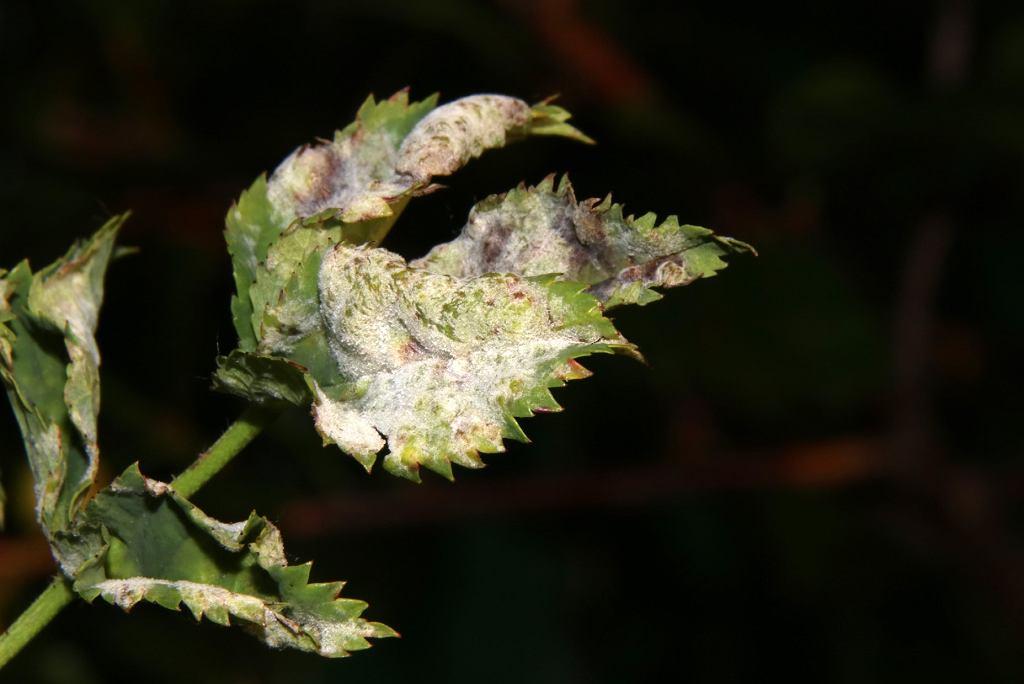 choroba róży - mączniak prawdziwy