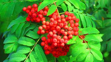 Jarząb pospolity to drzewko często występujące w parkach i ogrodach. Zdjęcie ilustracyjne