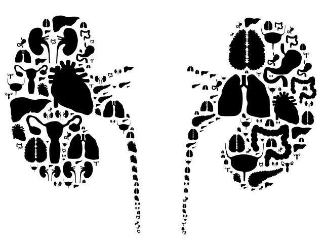 Nerki uczestniczą w regulacji pracy całego organizmu, w tym wielu innych organów, np. serca i mózgu