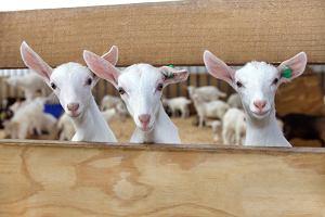 Modyfikowane kozie mleko - rewolucja w karmieniu niemowląt!