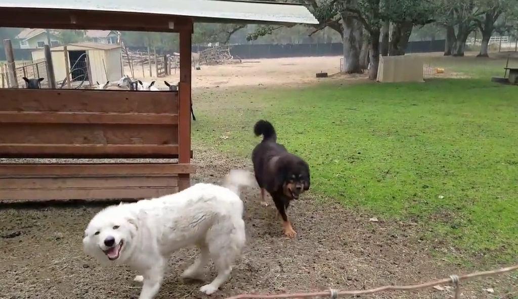 Sąd nakazał podcięcie strun głosowych psom z farmy Liongate