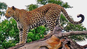 RPA. Lampart plamisty zabił dwulatka w Parku Narodowym Krugera