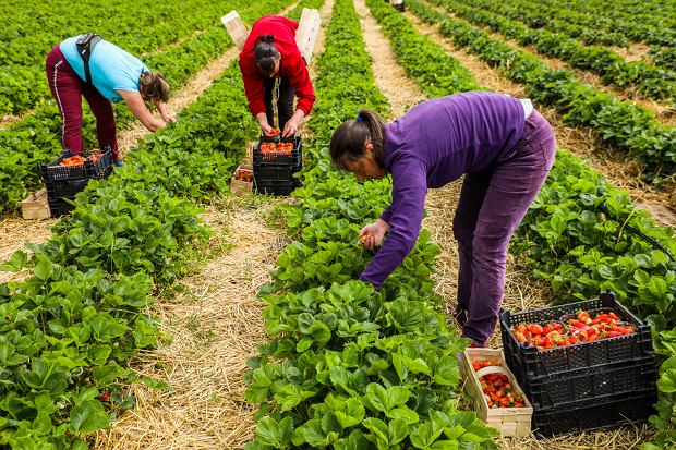 2Employees from Ukraine collect Polish strawberries