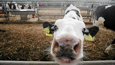Krowa - zdjęcie ilustracyjne