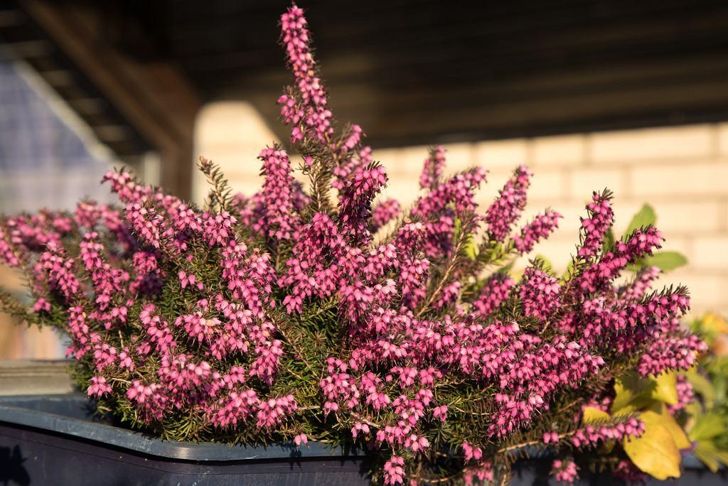 kwiaty jesienne na balkon - wrzosy