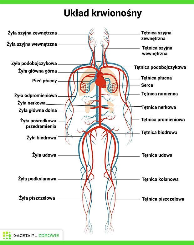 Na układ krwionośny składają się dwa obiegi - płucny, którym krew krąży pomiędzy sercem i płucami oraz obwodowy, rozprowadzający i zbierający krew z całego ciała.