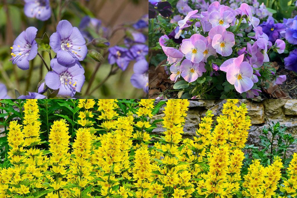 kwiaty wieloletnie - wielosił błękitny, fiołek rogaty, tojeść
