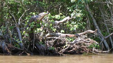 Aligator amerykański wyleguje się na drzewie nad Pearl River w stanie Mississippi