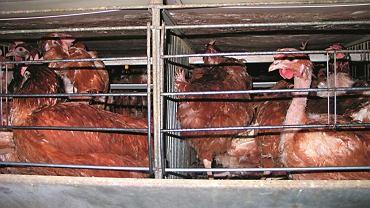 Chów kur w klatkach