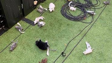 Thibaut Courtois obrzucany pluszowymi szczurami przez kibiców Atletico Madryt