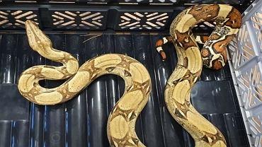 Wąż boa został znaleziony na terenie powiatu górowskiego