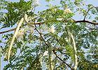 Moringa - czym jest i jaki wpływ na zdrowie ma drzewo długowieczności?