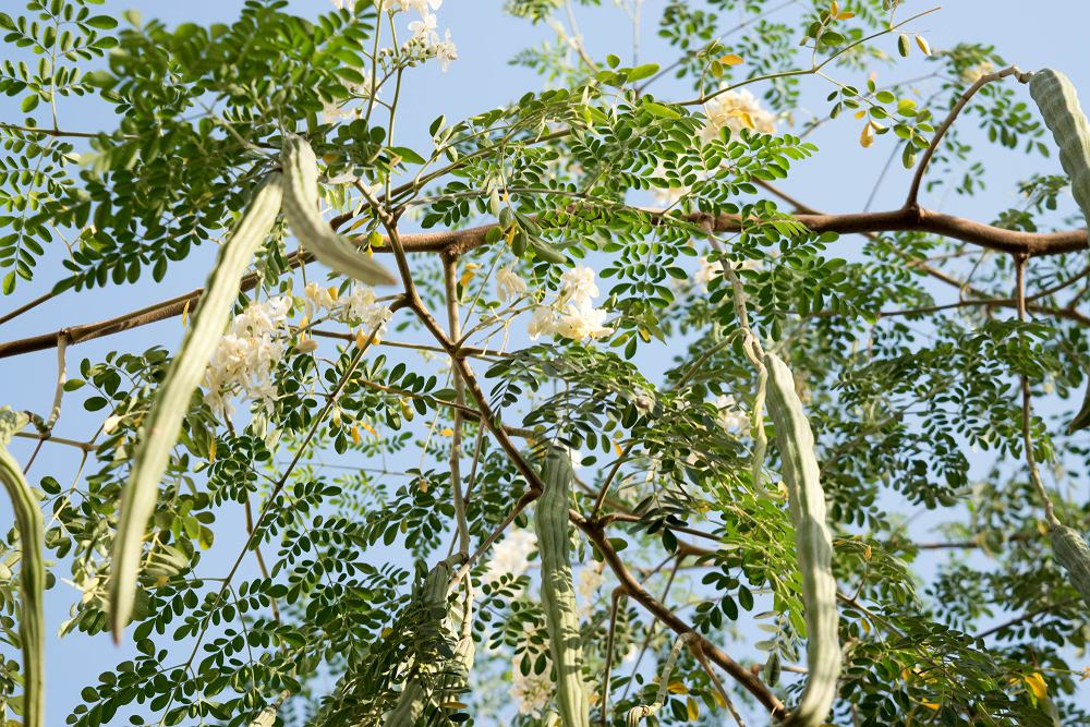 Moringa, zwana drzewem długowieczności wykorzystywana jest do wytwarzania leków i kosmetyków.