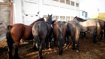 Polskie konie mają jechać do rzeźni w Japonii. To niemal 9 tys. kilometrów - w linii prostej.