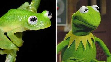 Prawdziwa Żaba i Kermit Żaba