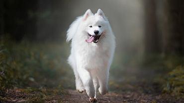Psy z włosami zamiast sierści - samojed.