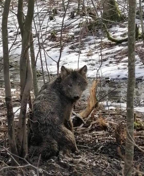 Wilk próbował się wydostać z wnyków