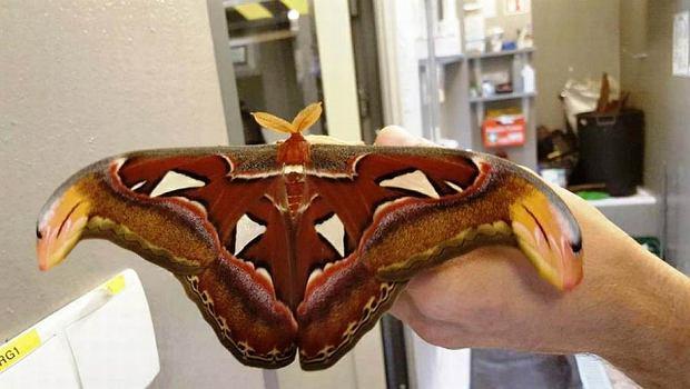 Pawica atlas, największy nocny motyl świata