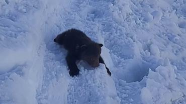 Tatry. Niedźwiadek wypadł z gawry i stoczył się na szlak