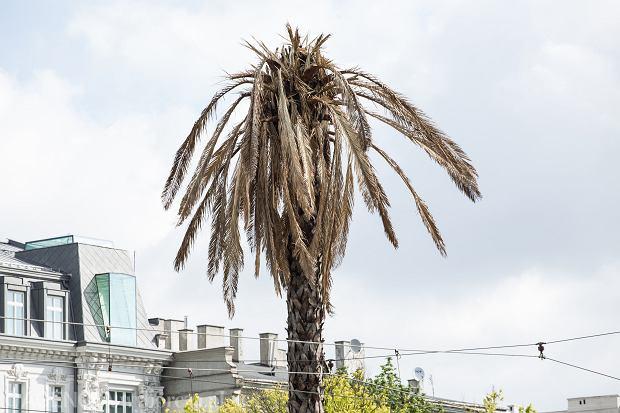 Warszawska palma na rondzie de Gaulle'a umiera na Światowy Dzień Ochrony Środowiska