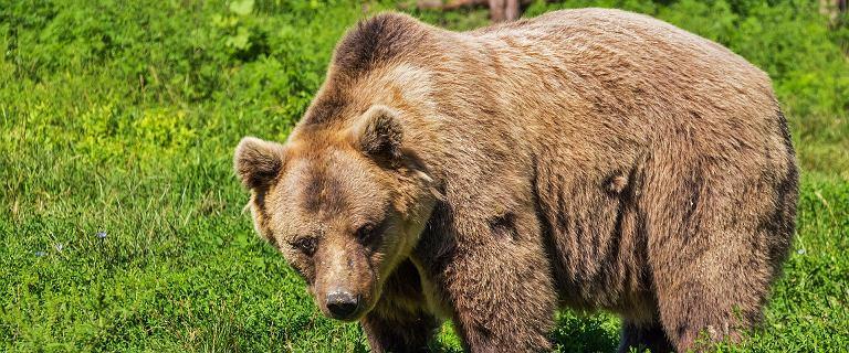 Rumunia. Książę Liechtensteinu oskarżany o zabicie niedźwiedzia Arthura