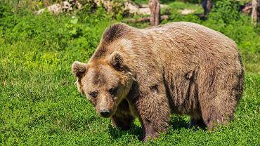 Niedźwiedź - zdjęcie ilustracyjne