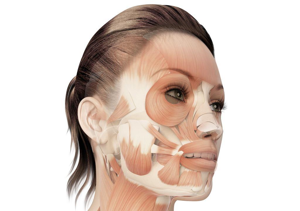 Budowa mięśni twarzy