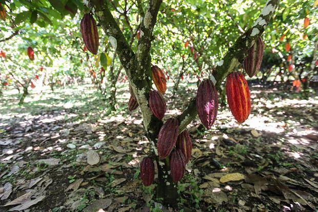 Kakaowce na plantacji.