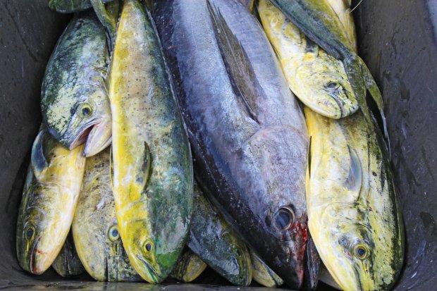 Surowe ryby prosto z połowu