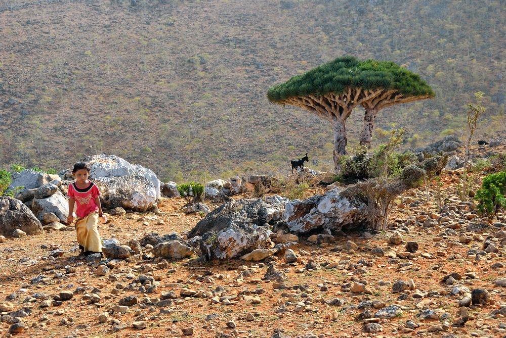 Dziecko wypasające kozy na Skotrze (Jemen). Przypominające podziurawiony parasol drzewo to smocza krew, endemiczy gatunek, które wiek ocenia się na 20 milionów lat i które nie rośnie nigdzie indziej na świecie