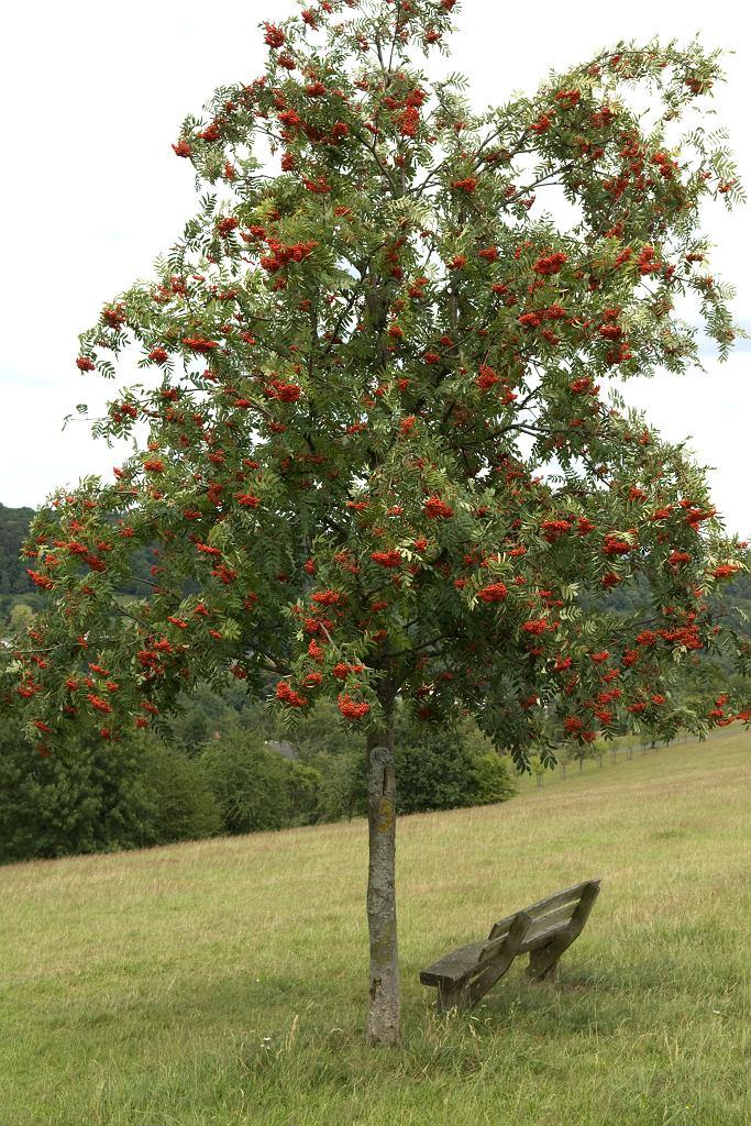 Jarząb pospolity dorasta do 15 metrów wysokości. Zdjęcie ilustracyjne
