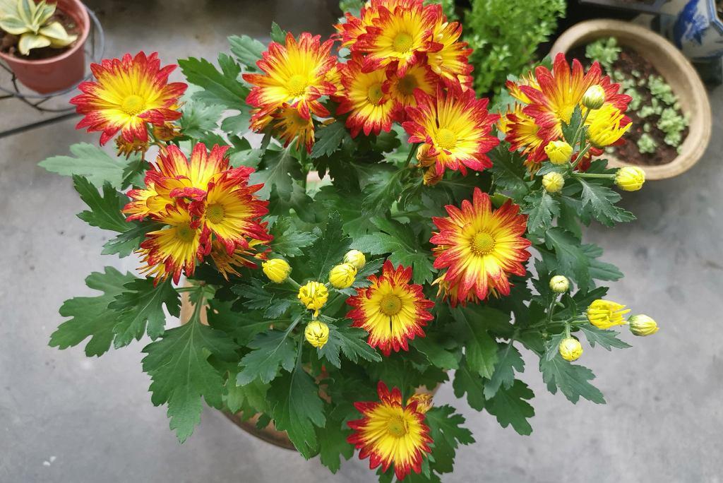jesienne kwiaty na balkonie - chryzantema