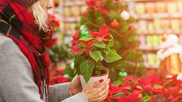 Gwiazda betlejemska to najczęściej kupowana roślina w grudniu. Zdjęcie ilustracyjne