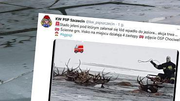 Stado jeleni wpadło do jeziora