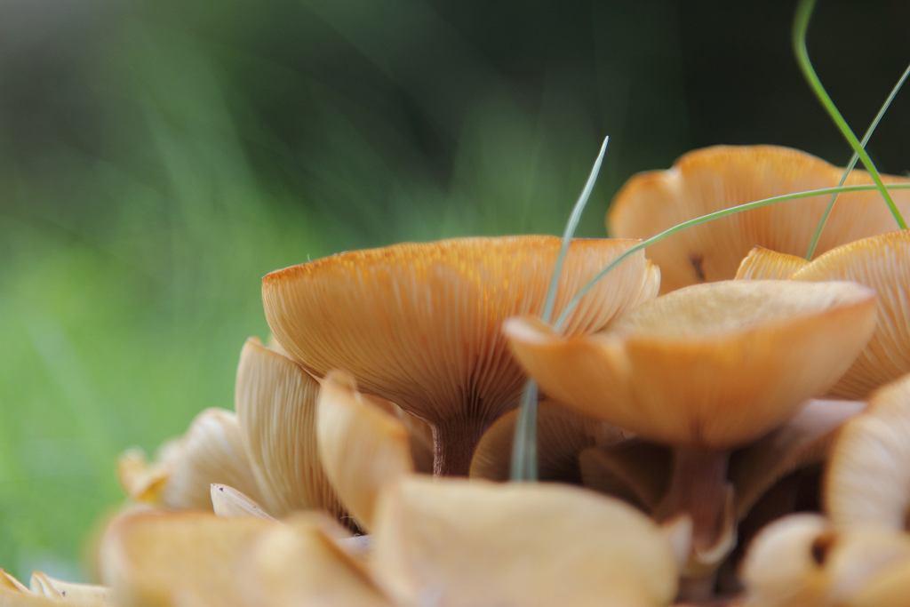 Opieńka miodowa - jak rozpoznać ten gatunek?