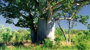 Krzak, nie drzewo. Aby wiarygodnie przedstawić tradycyjne drzewo filogenetyczne (ukazujące pokrewieństwo gatunków), trzeba by wpisać u podstawy m.in. ogromną liczbę gatunków bakterii. Powstałby wówczas przysadzisty krzak.
