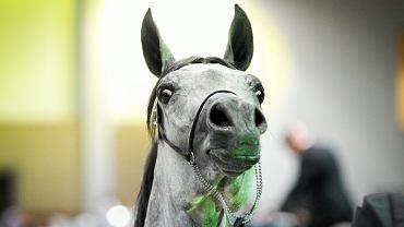 Koń z aukcji Pride of Poland