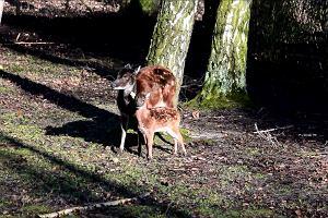 Młody jeleń Alfreda w poznańskim zoo