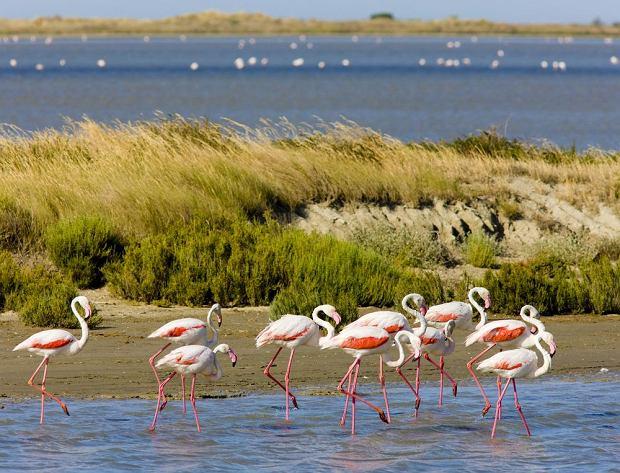 Flamingi w Camargue - Francja / shutterstock
