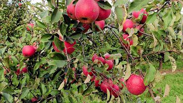 Leszczków, gm. Lipnik, jabłka w sadzie